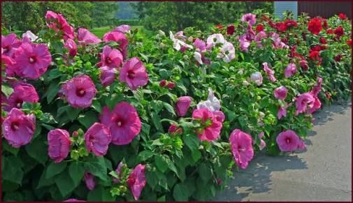 hibiscus hedges - Google Search