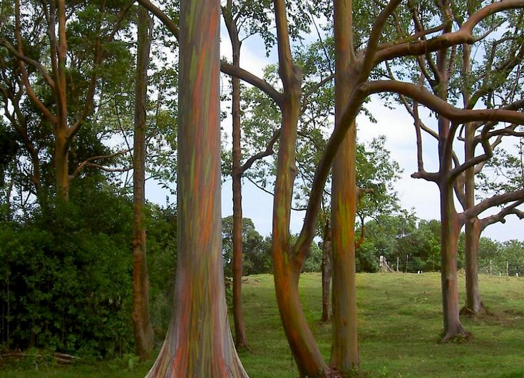 1000+ Ideas About Eucalyptus Deglupta On Pinterest