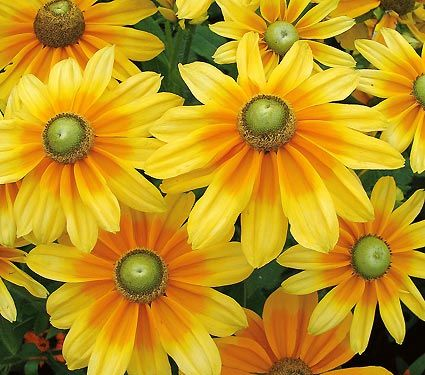 Rudbeckia Prairie Sun black eyed susan. I have to pin this pic because mine didn't make it through the winter :-(