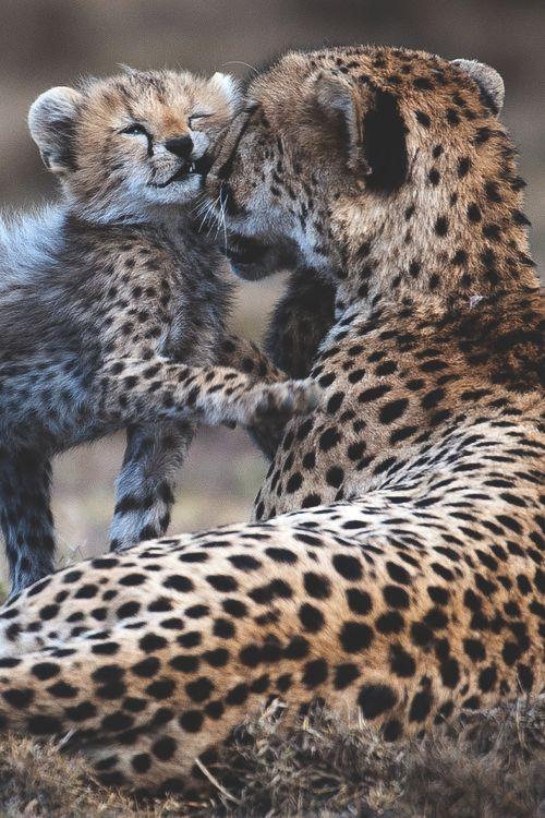 Cheetahs.  From jaimejustelaphoto