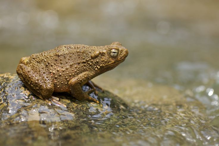 https://flic.kr/p/EbjVpA | River toad (Phrynoidis aspera) | Thanks to Kurt for the ID.  Photo from Gunung Leuser national park, Indonesia.