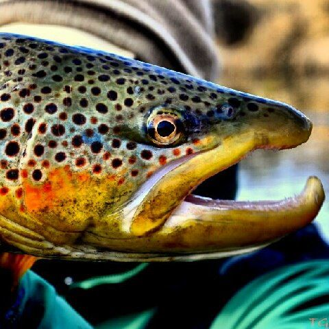 36 best maine wildlife images on pinterest maine for Maine fish wildlife