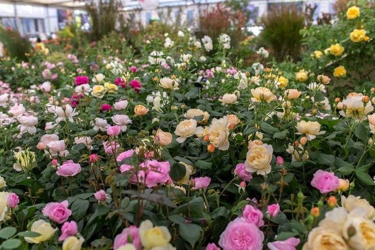 Jardín de exhibición de Rosas Inglesas en Chelsea Flower Show