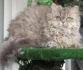 selkirk rex  Selkirk Rex Cat. El pelo ondulado es el resultado de una tercera mutación del pelo rizado producida por un gen dominante, mientras que el del cornish y el del devon son recesivos. Se trata de un gato robusto y musculoso, al contrario que los de las otras razas de rex, que son muy pequeños y delicados. Tiene un carácter tranquilo, abierto y amistoso. El primer ejemplar de selkirk rex se desarrolló a partir de un gato persa en ee.uu.