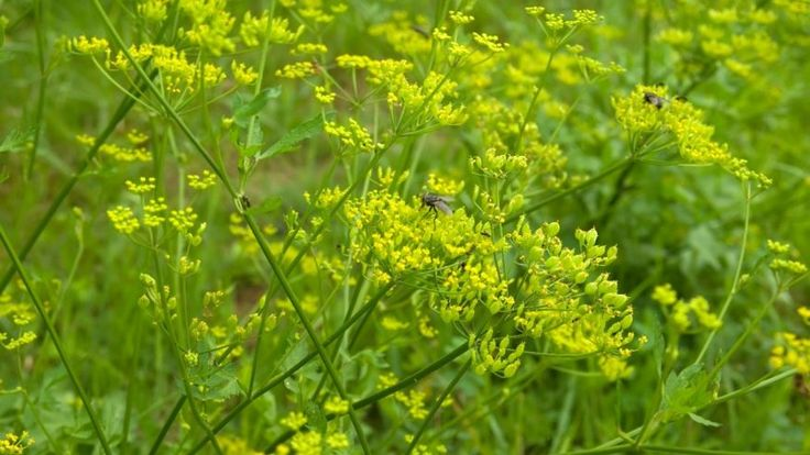 Wild Parsnip...touch it and burn...very dangerous