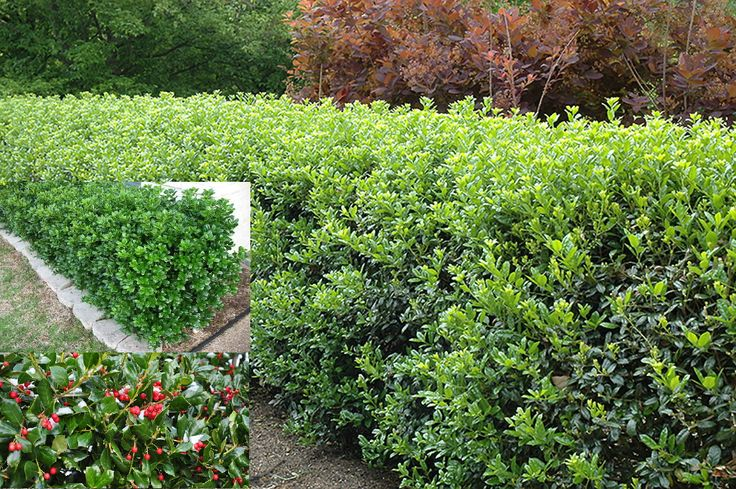 220 Best Evergreen Shrubs Images On Pinterest Garden Shrubs Diy Landscaping Ideas And
