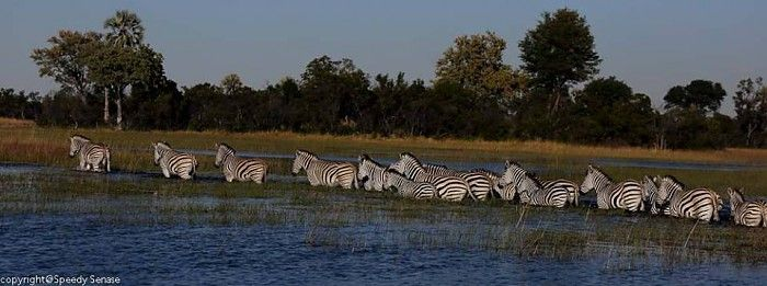 Zebra crossing #OkavangoDelta #safari