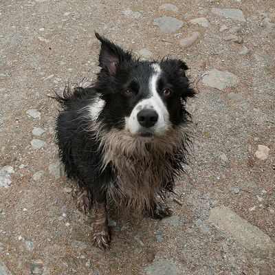 """What mudd??"" Border Collie   via Tumblr   Border collie ..."