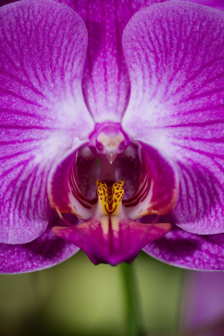 Phalaenopsis, un bel oiseau