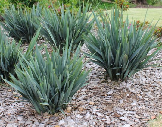 248 best landscape gardening plants images on pinterest native clarity blue dianella has clean blue foliage is a tougher plant than utopia dianella and also a better performer just like cassa blue dianella altavistaventures Gallery