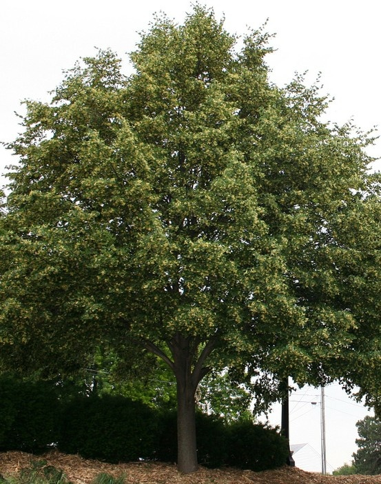 American linden | Drought-Tolerant Trees | Pinterest