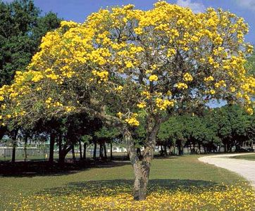 Large yellow flowering tree garden inspiration tipuana tipu tree yellow flowers 42 best plants in mediterranean gardens images on pinterest mightylinksfo