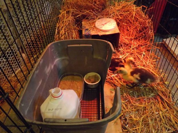 Cake pan and cooling rack inside a small storage tub = dry brooder