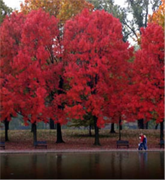 Red Maple - Acer rubrum  40'-60' H x 40' W Park Strip x 3