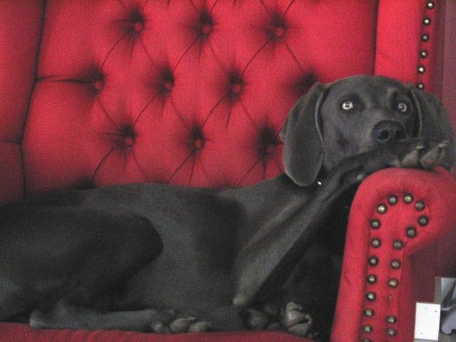 Blue Weimaraner - Looking for one to adopt right now!