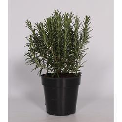 саксийно растение, Розмарин, 503.489.70 - ИКЕА България