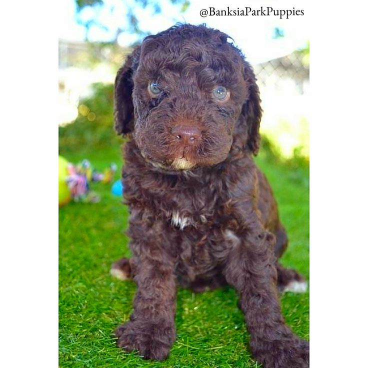 This Poodle has gorgeous eyes! 😍🐶