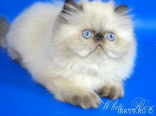 Персидский гималайский котенок Юждин - Россия , Московская обл. , Москва