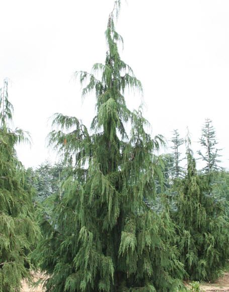 "Weeping Alaskan Cedar  While Alaskan cedar typically reaches heights of 100 feet in its native habitat, ""Pendula"" is significantly smaller in mature stature, rarely exceeding 30 to 35 feet in height. Its upright habit is overall pyramid-like but with open, irregular branching. The tree's mature width ranges between 8 and 20 feet."