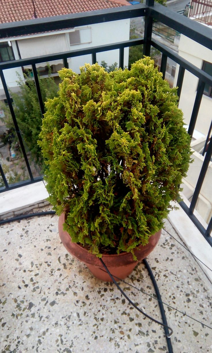 ΗΤούγια δυτική(Thuja occidentalis) είναι ένα αειθαλέςκωνοφόροδέντρο, στην οικογένειαΚυππαρισσοειδή, το οποίο καλλιεργείται ευρέως για χρήση ως καλλωπιστικό φυτό γνωστό ωςAmerican Arbor Vitae.[1]Η ενδημική ύπαρξη του είναι μια βορειοανατολική κατανομή στηΒόρεια Αμερική. Θεωρείται το πρώτο φυτό εκείνης της περιοχής που καλλιεργείται στην περιοχή και σε όλη την Ευρώπη.