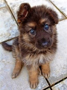 Siberian husky/German Shepherd mix. 5 Most Amazing Hybrid Breeds @KaufmannsPuppy