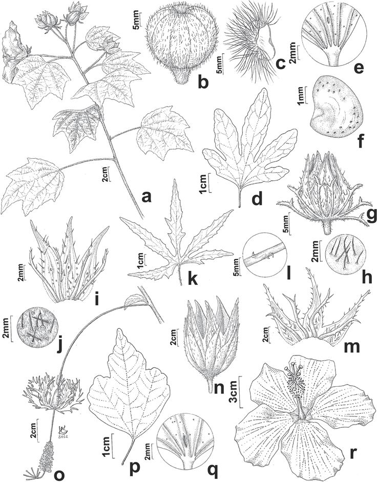 a-c. H. mutabilis. d‑h: H. acetocella. i-j. H. cannabinus. k-m. H. radiatus. n. H. sabdariffa. o. H. schizopetalus. p-q. H. syriacus. r. H. rosa‑sinensis. Synopsis of Hibiscus L. (Malvoideae, Malvaceae) in São Paulo State, Brazil: native and ornamental species