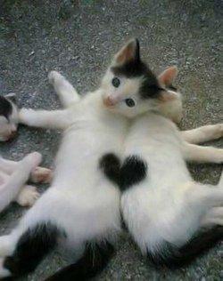 hey two black and white cats make A heart it is sooooooooooooo cuuute