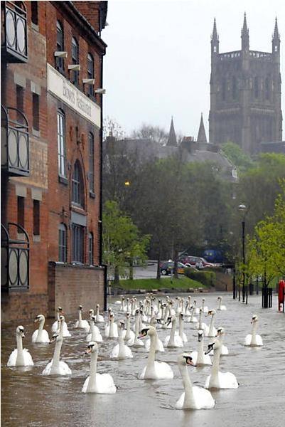 Cisnes passam flutuando por inundação que atingiu a cidade de Worcester, na Inglaterra.