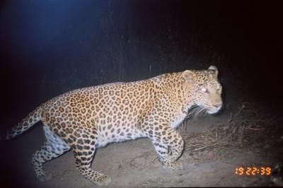 Camera traps set up at night in a densely populated region of India virtually devoid of wilderness revealed leopards, striped hyenas, jackals -- and lots of people.
