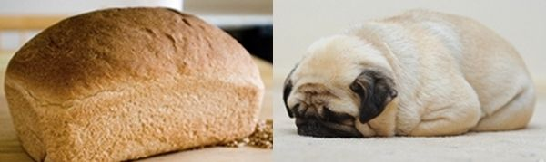 Loaf of Bread. | pugs that look like things |