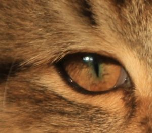 Chatterie de l'Eperon - elevage de chat norvegien en Drôme - proche de Montelimar