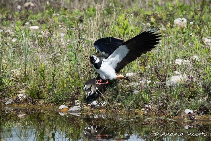 Northern lapwing coupling - null