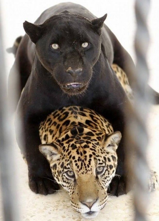 A black jaguar named Lolo plays with Ward, her 14-month-old spotted cub. Lolo and her cub live at the Yaduda zoo, in Jordan. The youngster's father, Falah, was separated, so he wouldn't hurt the cub.