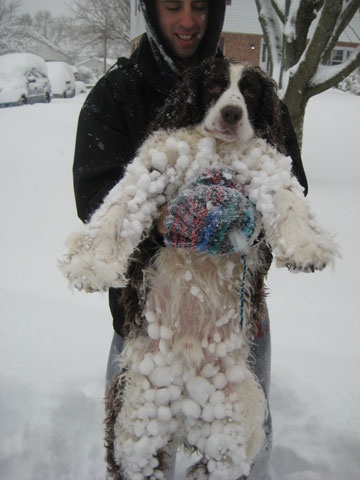So true about Springers unless you keep their fur very short.  Wet snow, long hair, then you get snow balls!  Warm bath time!