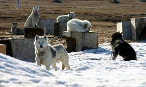 Inuit Sled Dogs