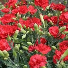 karanfil çiçekleri ile ilgili görsel sonucu