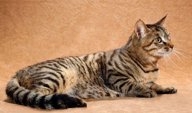 Li Hua Cat Side View
