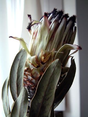 A drying protea flower