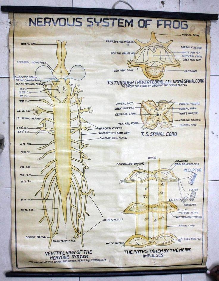 nervous system of frog pdf