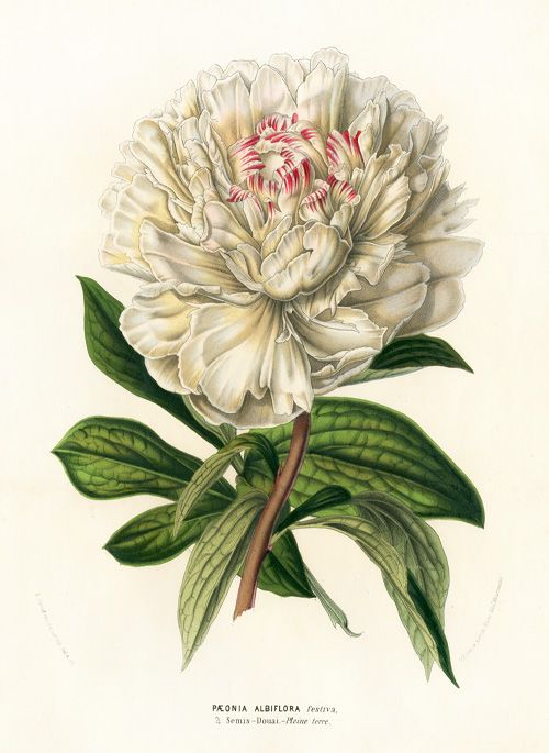 Paeonia Albiflora - Louis Van Houtte, Flore de Serres et des Jardins de l'Europe Botanical Prints 1851