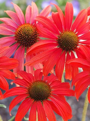 coneflowers late summer color