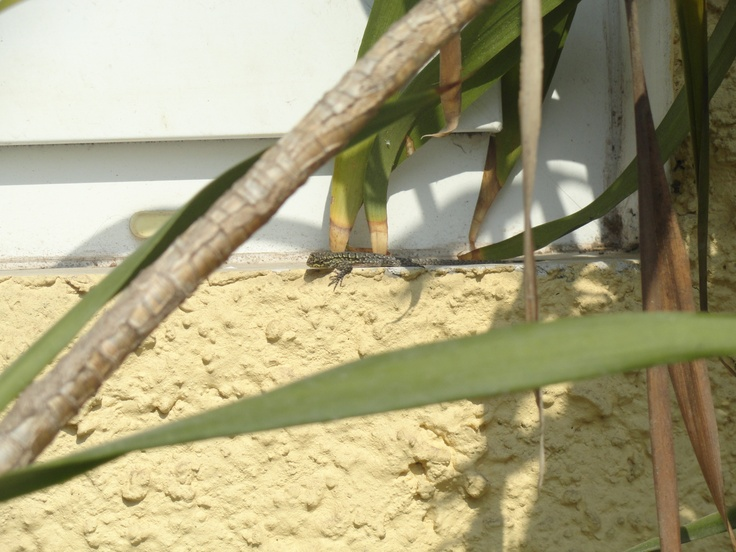 lagartija que tomaba el sol al borde de una ventana.