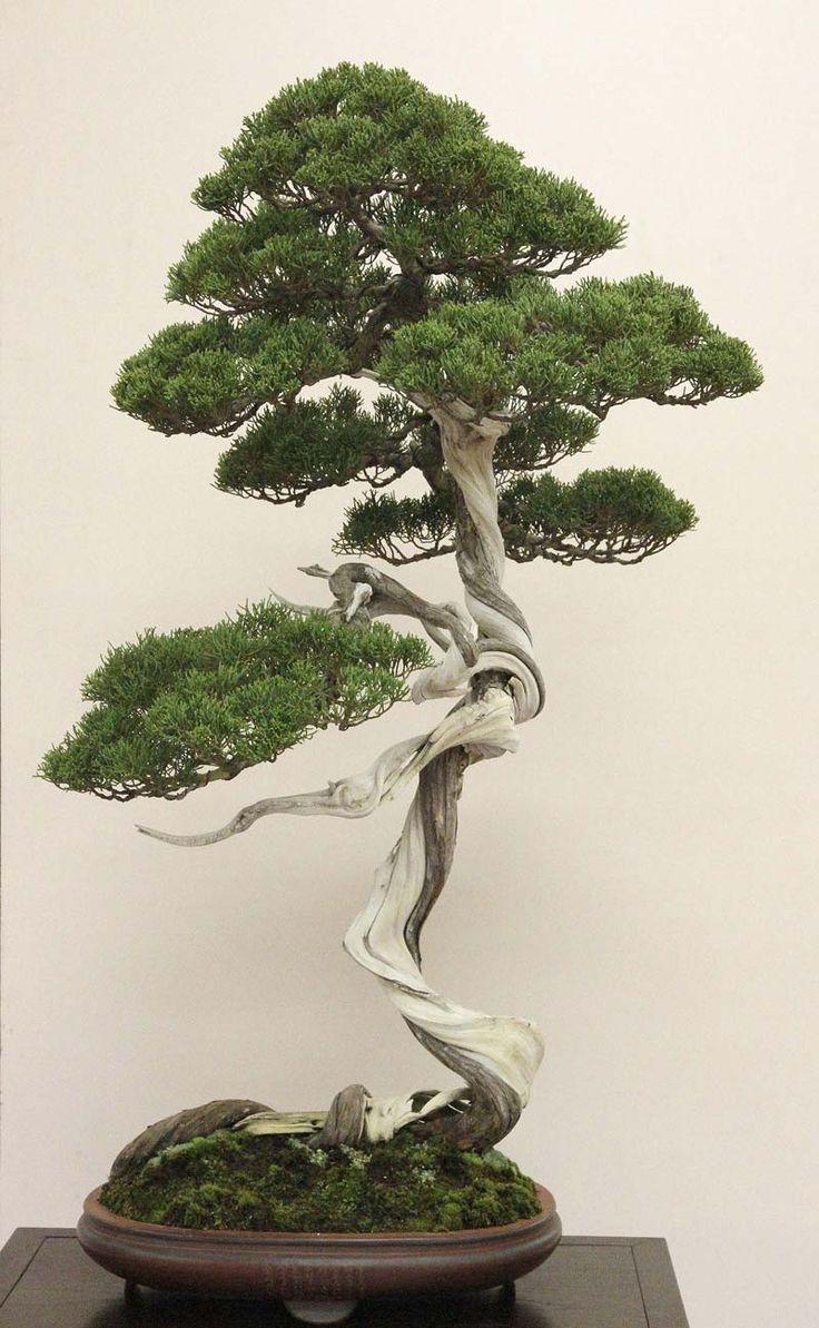 cotoneaster bonsai - Google Search