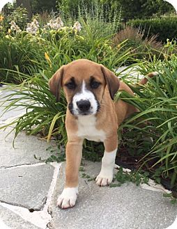 Hainesville, IL - Boxer Mix. Meet Ryder, a puppy for adoption. http://www.adoptapet.com/pet/18455519-hainesville-illinois-boxer-mix