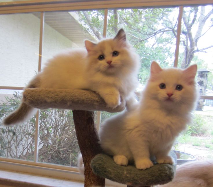 Ragdoll cats florida sale