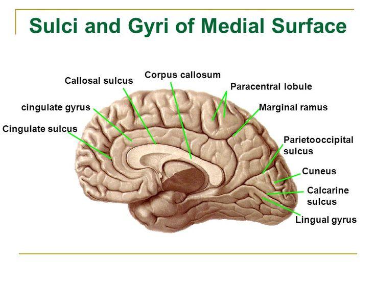 callosal sulcus - بحث Google | Medical school studying ...