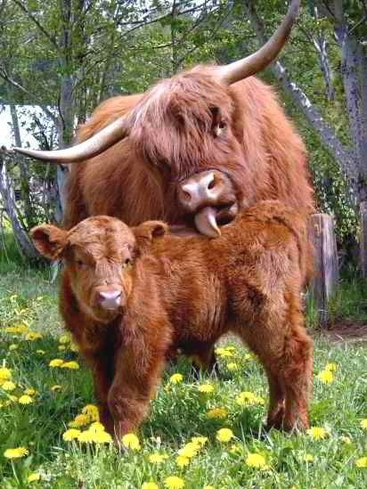 Highland calf getting a highland bath from his highland mama.