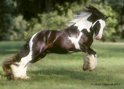 My all time favorite Vanner - The Road Sweeper, 1999 imported Gypsy Vanner Horse stallion