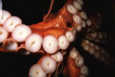 """Octopus Intelligence: The Complex Nervous System - Octopi have """"brains"""" in each arm"""