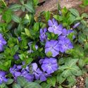 vinca minor periwinkle myrtle ground cover - sun or shade, vine, fast growing, invasive
